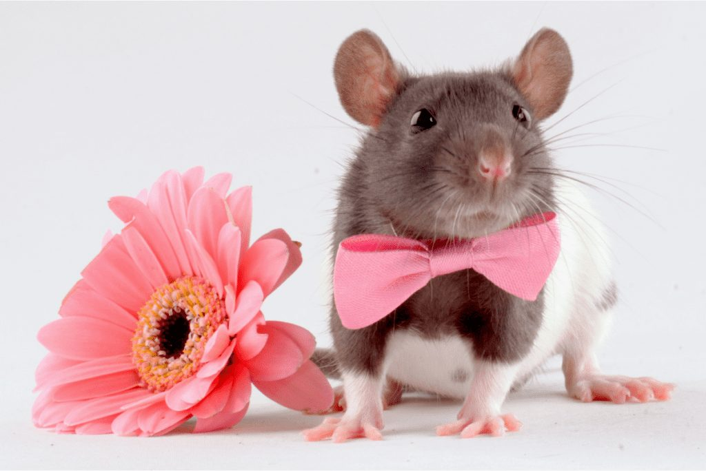 a mouse in a bowtie next to a pink flower