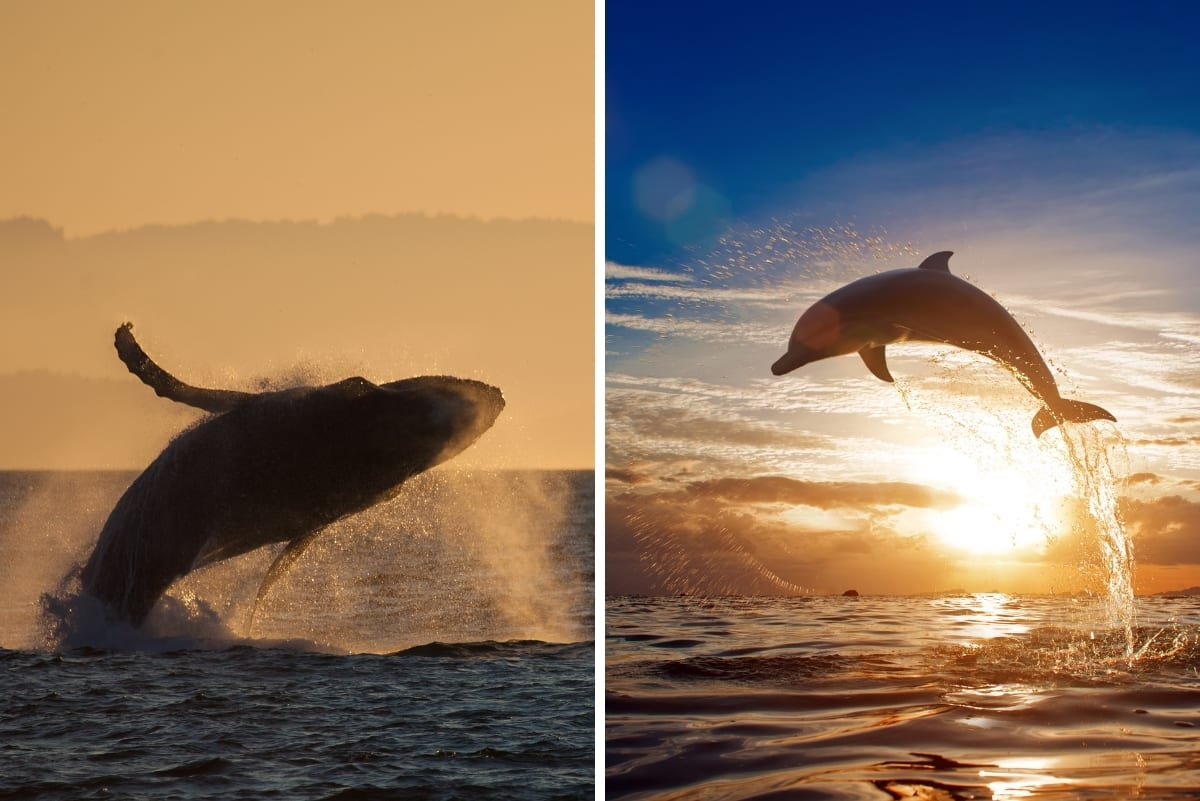 a dolphin and whale jumping out of the ocean behind the sunset