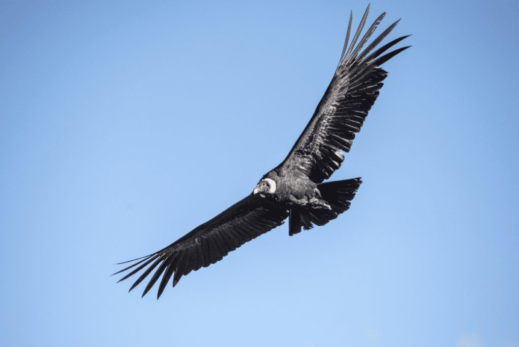 a condor flying in the sky