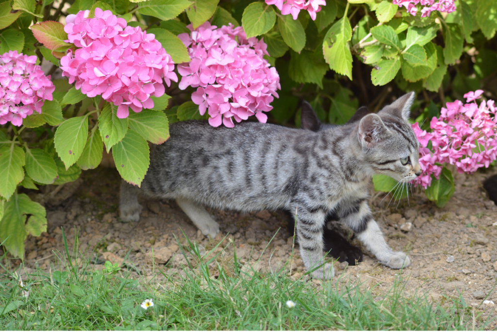 a grey cat walking out of a bush with pink flowers