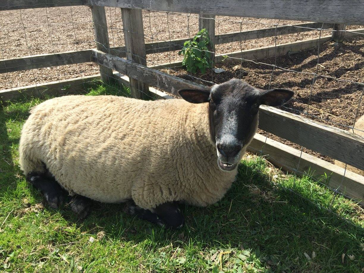 a sheep sitting in the grass next to a fence