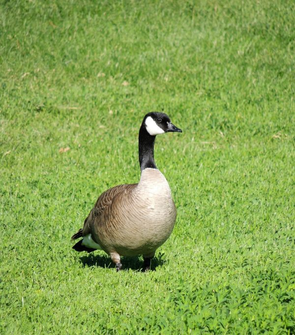 a black white and brown goose sitting in the grass