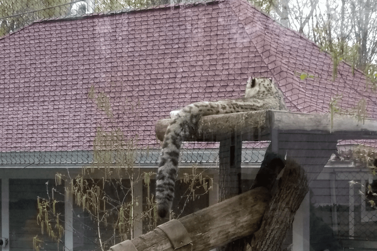 a snow leopard laying down on a platform